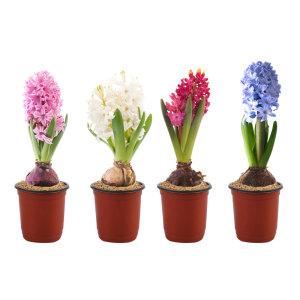 히아신스/수선화 외 구근식물 수경재배