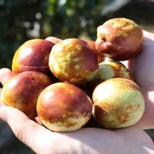 GFresh/햇 사과대추 1kg 중 50-60과