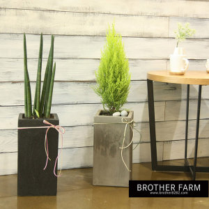 형제농원  화분 공기정화식물 스투키 미세먼지