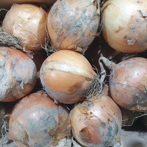 햇 자색양파 10kg 특대사이즈 13900원/햇감자 수확